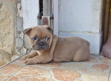 Francia bulldog, blue fawn kölykök