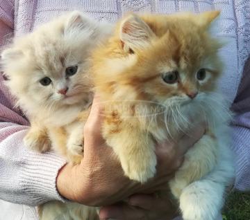 Eladó perzsa cica