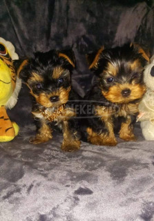 Extra mini yorkshire terrier