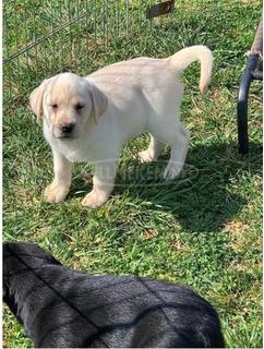Nőstény Labrador Retriever Kiskutya