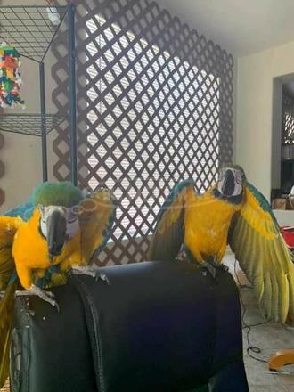 Szuper szelídített és egészséges ara papagájok eladók