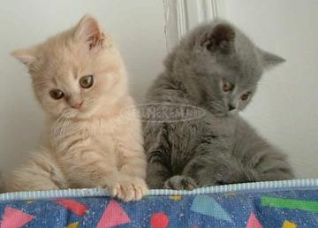 Brit rövid szőrű minőségi kiscicák eladók, foglalhatók.
