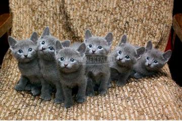 Orosz Kék cicusok eladók!