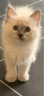 Burmai gyönyörű szent cica