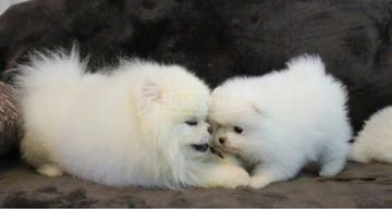 gyönyörű fajtatiszta törpe spitz kiskutya