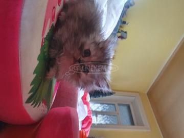 Édes perzsa cicusok mindenkinek