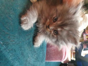 fajtiszta perzsa kiscicák