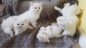 Fajtiszta perzsa cica