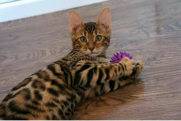 Bengáli cicák