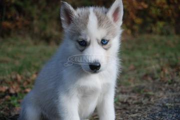 husky,